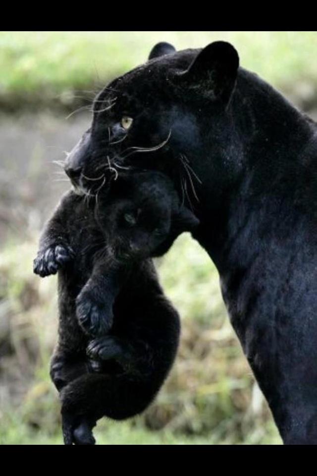 black puma wild cat
