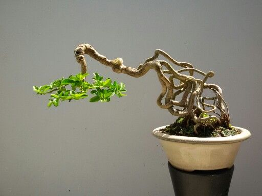 Shohin Bonsai.