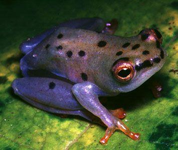 Hyperolius viridiflavis, African reed frog, from Kenya.