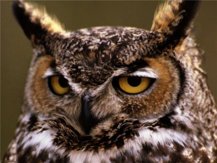 Ночные хищные птицы (филины и совы): alionushka1
