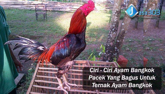 Foto Ayam Siam Yg Bagus Ciri Ciri Ayam Bangkok Pacek Yang Bagus Untuk Ternak Ayam