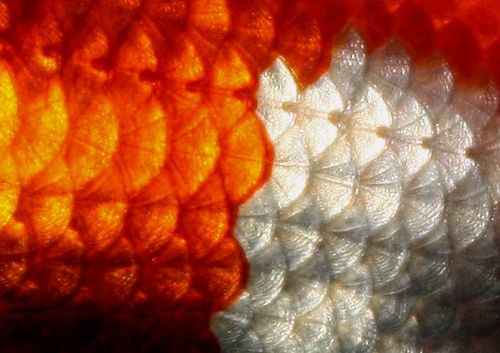 Koi scales close up seamless pattern of small colorful for Koi fish scales
