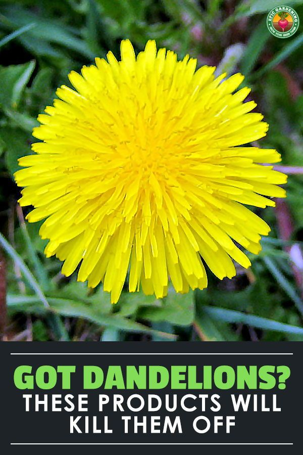 Use These Things To Kill Off Your Disastrous Dandelions In 2020 Dandelion Growing Flowers Garden Help