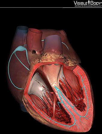 heart conduction system sinoatrial node bundle of his