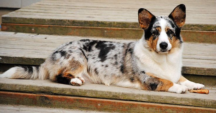 Cardigan welsh corgi. This is a blue merle with tan points.