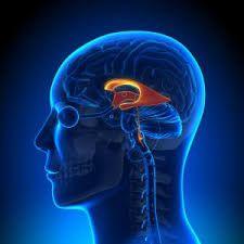 Los ventrículos son cavidades en el interior del cerebro conectados entre sí, forman el sistema vestibular que origina el líquido cefalorraquídeo. Son cuatro ventrículos: debajo del cuerpo calloso el ventrículo uno y dos o ventrículos laterales que se comunican con el tercero por el orificio de Monro, se comunica con el cuarto ventrículo por el acueducto de Silvio. El IV ventrículo también se conecta con la médula.  Funciones y alteraciones también lo veremos en este artículo