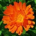 De geneeskracht van calendula of goudsbloem