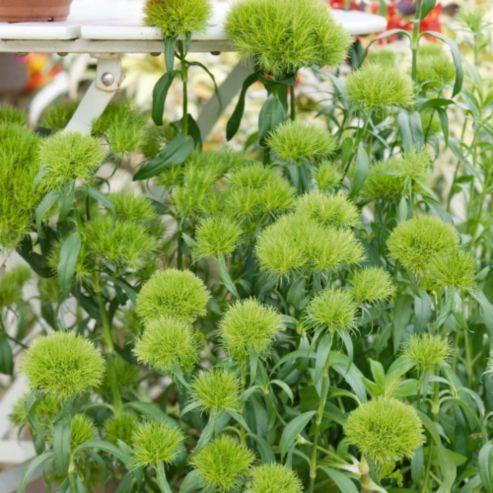 Dianthus barbatus 'Green Trick' - 3 pencil plugs
