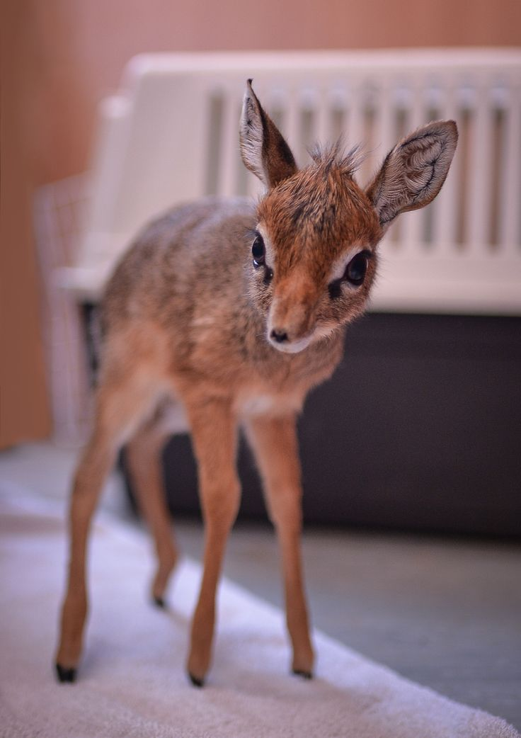 Keepers step in to hand-rear orphaned baby dik dik antelope at Chester Zoo. Dik Diks only grow to be about 12 inches tall!