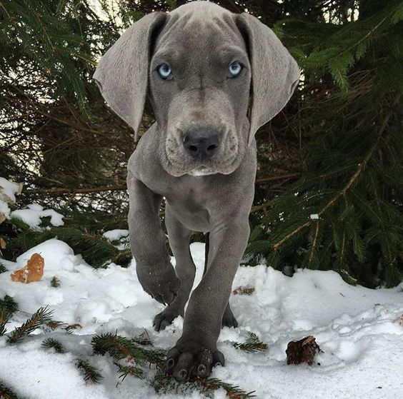 477 best images about Great Dane Dogs | Giant Great Danes ...
