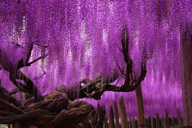 Il Glicine di Ashikaga,  c'èun albero di glicine di incomparabile bellezza, che è spesso definito come il più bello di tutto il mondo. E' il più grande e antico albero del Giappone, che rappresenta la principale attrazione del parco dei fiori, con i visitatori che si affollano per vederlo durante lafioritura. Risalente circa al 1870, questo albero vecchio di quasi 150 anni, ha rami che sono supportati da travi, che creano una splendida fioritura ad ombrello.