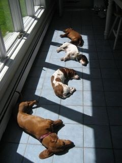 All of my pets do this: Animals, Dogs, Dachshund, Doxie, Pets, Funny, Puppy, Sun