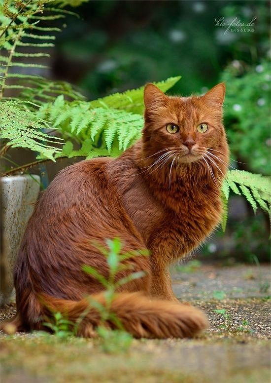 Beautiful, long-haired, russett-colored cat!!!