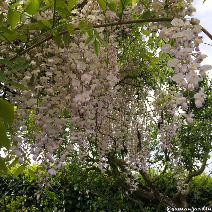 Best 250 pour le jardin et terrasse images on pinterest gardening - Graine de glycine ...