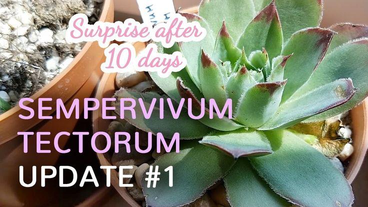 Sempervivum Tectorum Offsprings  are growing after 10 days from planting original plant.