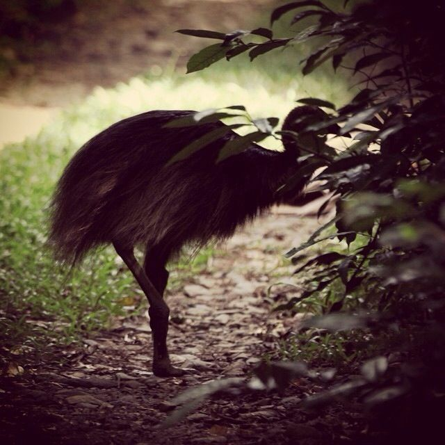 A young cassowary - pic taken by a guest on Daintree Wonder Tours