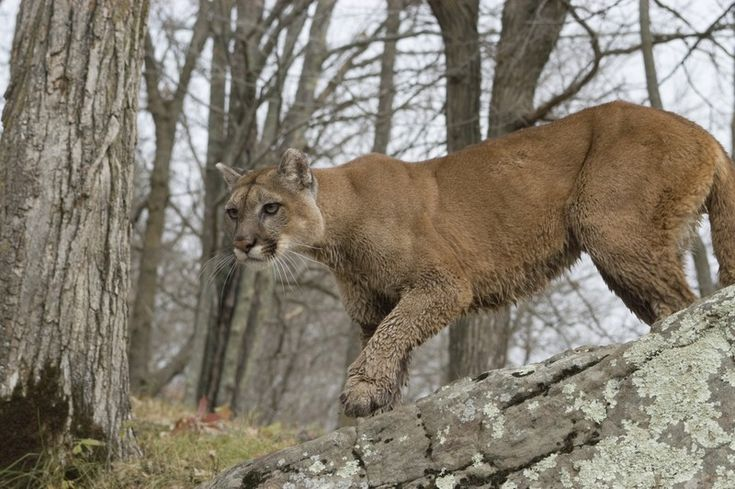 When Coming Across a Mountain Lion in the Wild, This is What a Person Should Never Do…