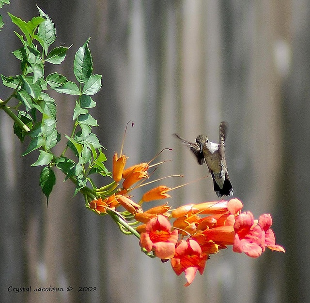 Hummingbird and Trumpet Vine 1 by CLJacobson, via Flickr: Photos, Hummingbirds Feeding, Trumpets Vines