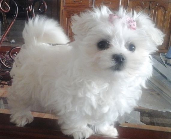 Addy Maltese Puppy 571886 Puppyspot Maltese Dogs Maltese
