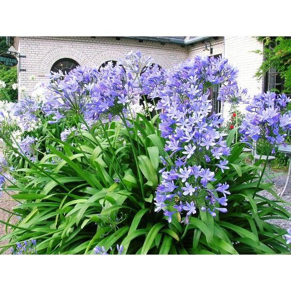 Afrikas blå lilja
