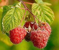 """I lamponigustosi frutti estivi, appartengono alla categoria definita dei""""frutti di bosco"""", ottimi per realizzare marmellate, dolci, ed utilizzati in macedonie di frutta"""