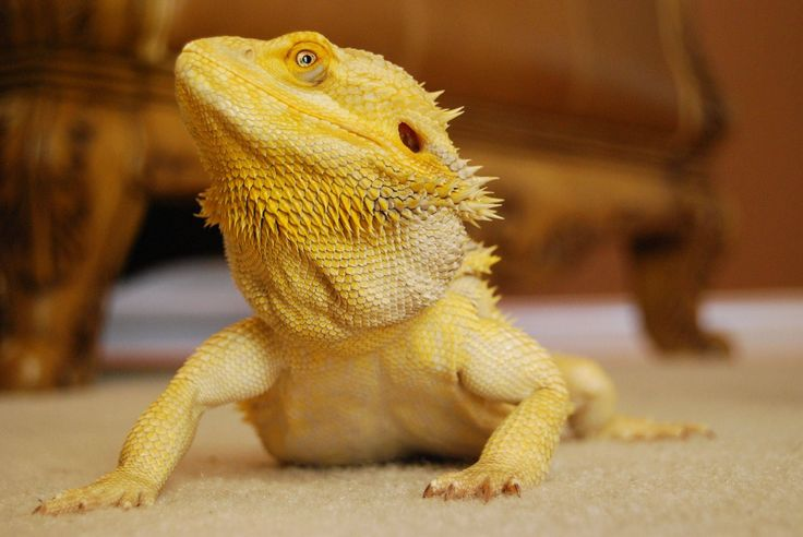 92 Best Images About Bearded Dragon On Pinterest