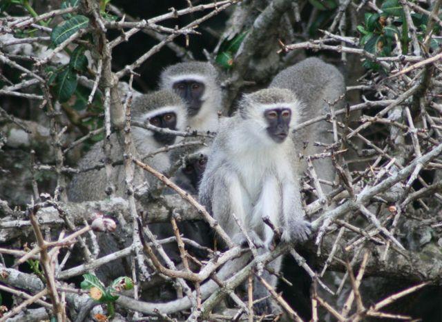 Vervit Monkeys