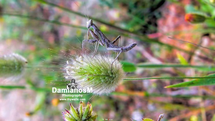 Praying mantis Ameles heldreichi