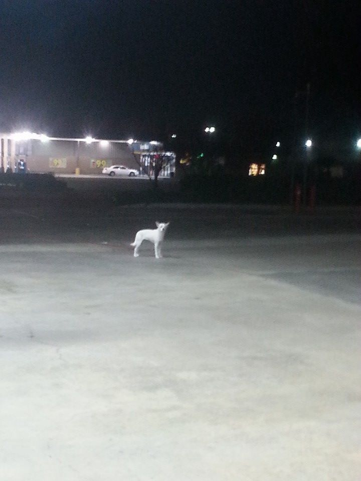 #FOUNDDOG 11-16-13 LOOSE #HOUSTON #TX 45 NORTH AND AIRTEX AT STRIPES GAS STATION https://www.facebook.com/photo.php?fbid=10201746513361740&set=o.115771598528709&type=1