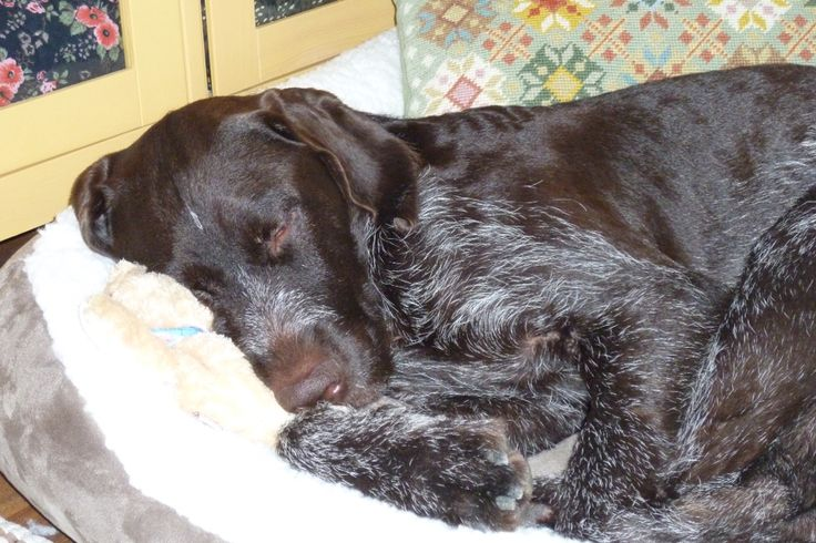 Wirehaired Pointing Griffon Puppies For Sale Pa References