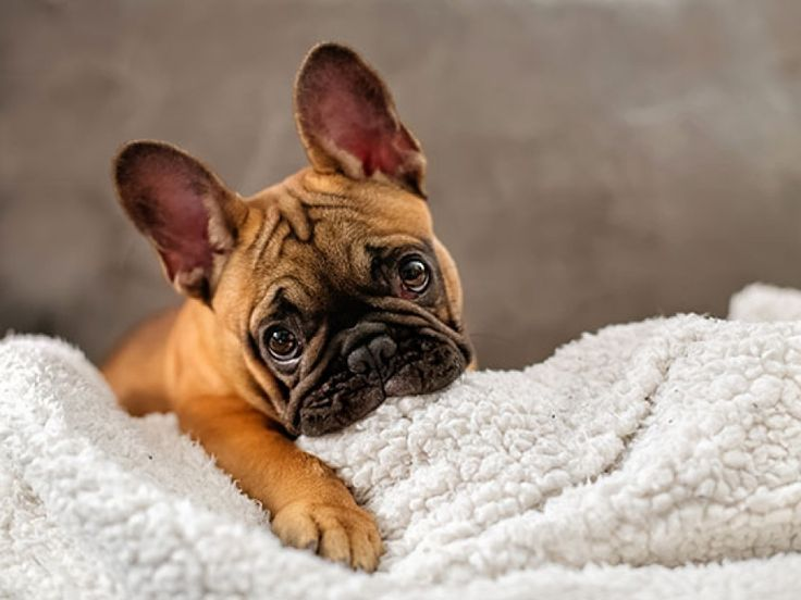 What an adorable French Bulldog puppy!  www.bullymake.com