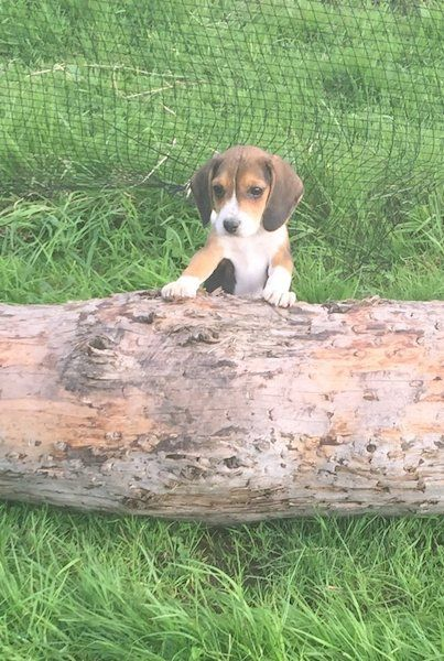 6 purebred foot beagles for sale, 2 male 4 female, make lovely pets, brought up around kids.Parents can be seenMicrochippedVaccinated Vet checkedWormed regularly ONLY 2 females left in last 2 pics, u can see how small they are. 1 tri colour and 1 lemon3 months old 30th Aug#xtor=CS1-41-[share]