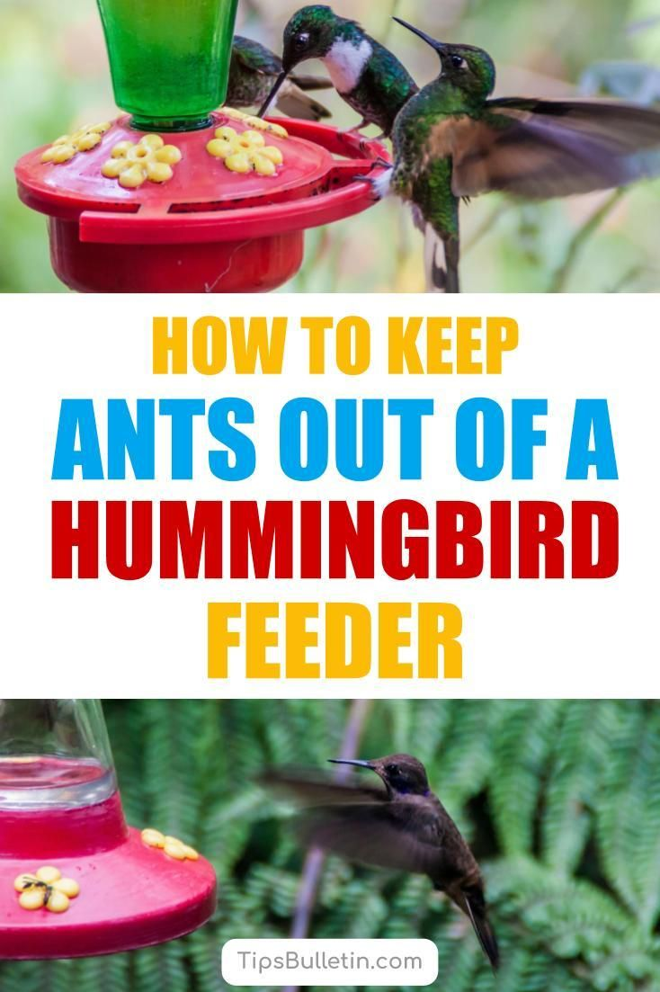 9 Brilliant Ways To Keep Ants Out Of A Hummingbird Feeder Humming Bird Feeders Hummingbird Food Ants