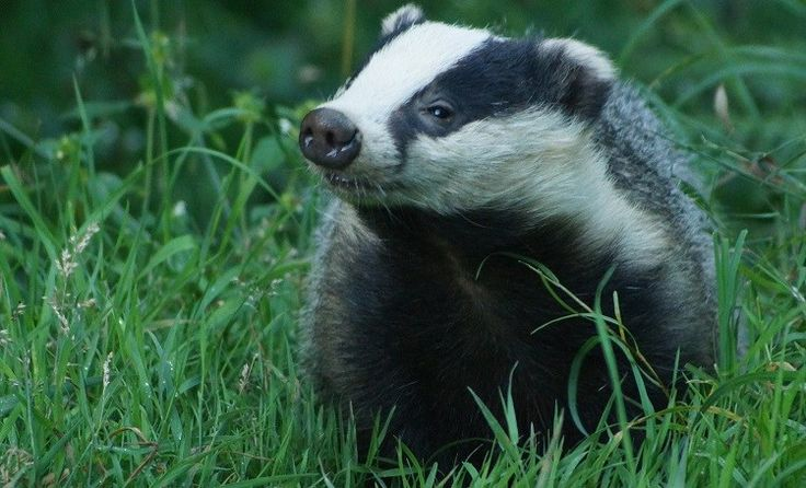 Badgers are less active in winter and can go days without food (Photo: WTML)