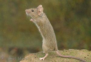 La souris domestique ou souris commune