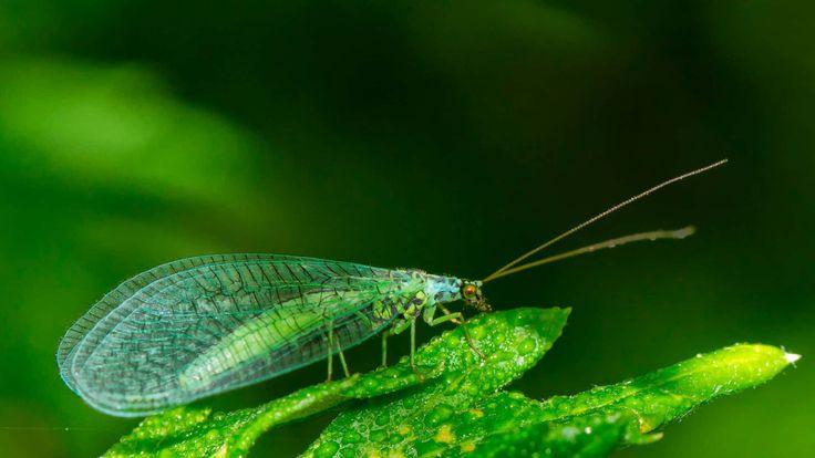 ¿Conocéis las crisopas? Son insectos muy beneficiosos. En su estado larvario se comen el pulgón. Y de adultas son muy buenas polinizadoras. Si las ves por tu huerto cuidalas!! 🤗🤗