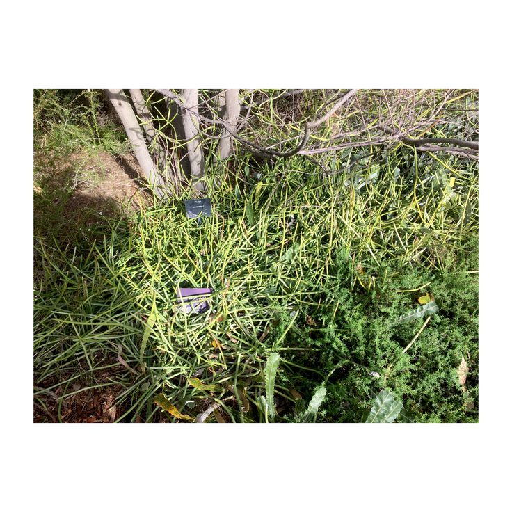 Sarcostemma viminale subsp. australe (form)