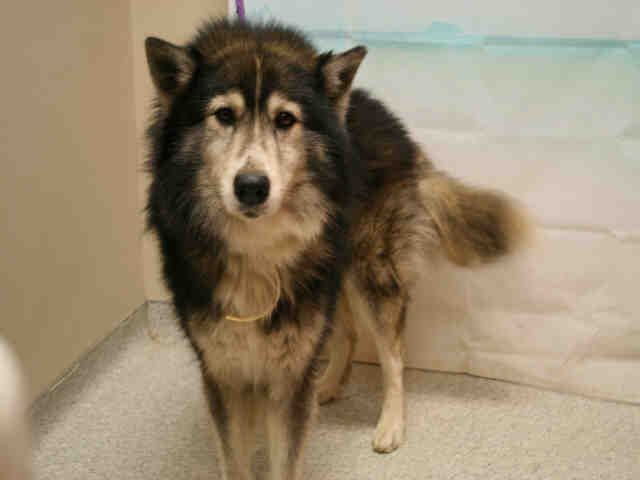 Siberian Husky Dog For Adoption In Modesto Ca Adn 808317 On