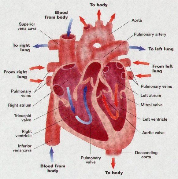 human heart pictures, human heart image, human photo gallery,