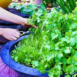 Cilantro: plant in wide shallow container (not ground) and harvest some every week to keep from going to seed.