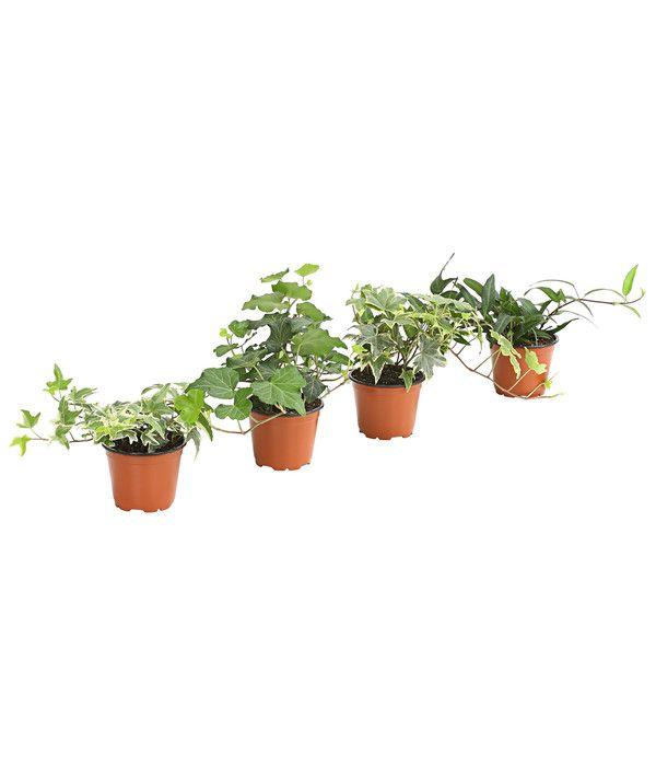 Efeu Verschiedenen Sorten Dehner Straucher Waldpflanzen Bodendecker
