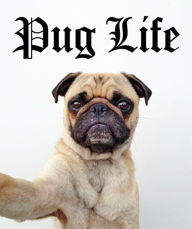 A woman in Cheshire, England has a serious case of puppy love. Becca Drake will be celebratingthis Christmas with her 30 pug dogs, who live like royalty in her two-bedroom home, according to The Daily Mail. She'll feedthem turkey and sausages and shower them in more than $1200 worth of cuddly toys