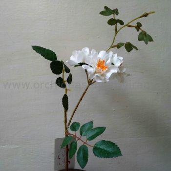 Fehér vadrózsa