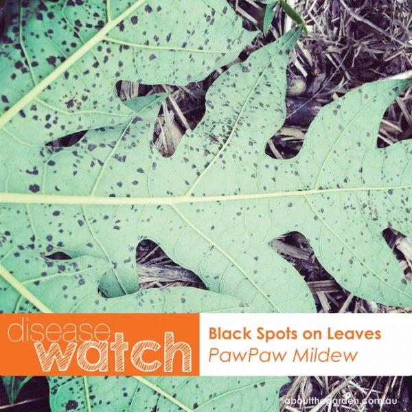 pawpaw disease Watch black spots on leaves pawpaw mildew #aboutthegarden