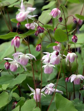 "groundcover for shade, banks: Epimedium x youngianum ""Roseum"" -- LH bed"