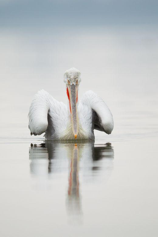 kroeskop pelikaan kerkini | Natuur foto van i-j-m | Zoom.nl