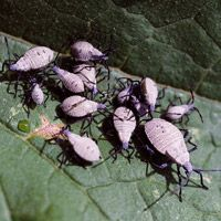 Stop Squash Bugs in Your Garden: Beneficial Insects, Gardens Ideas, Squash Plants, Squash Bugs, Vegetables Gardens, Pumpkin Safe, Gardens Pest, Insects Pest, Annoying Insects
