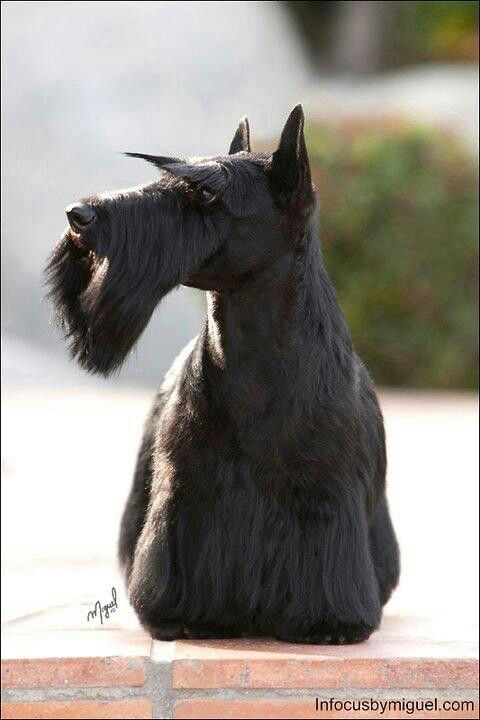 I always wanted a Scottie, too. the closest I got was half Scottie and half Poodle. A wonderful little guy with the biggest personality!