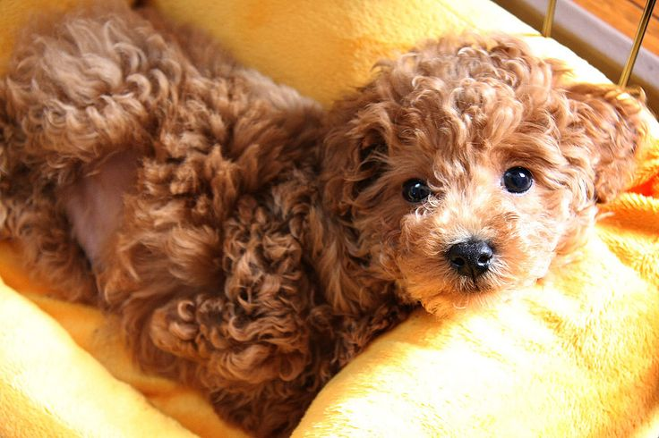 Toy Poodles are just like stuffed animals. Too cute!