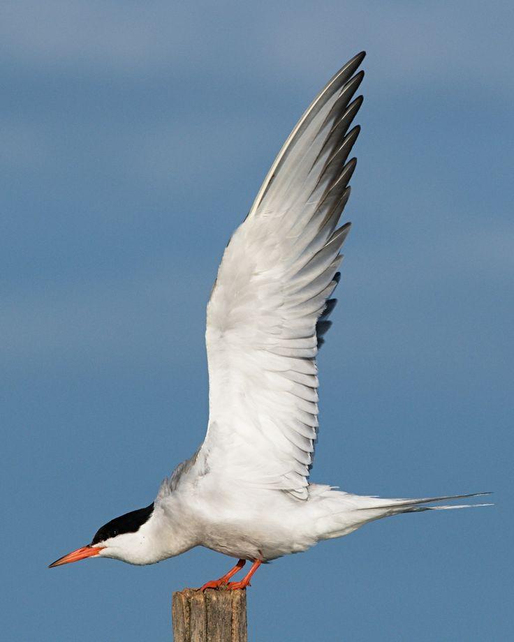 Водоплавающие: утки, гуси, лебеди, чайки и т.д. - Страница 3 - Фorum RISE-N-FALL
